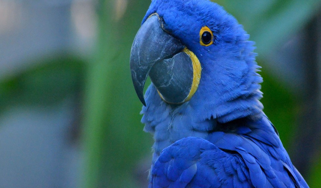 Appearance of Blue Macaws