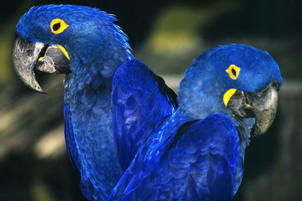 The Magical Blue Macaw