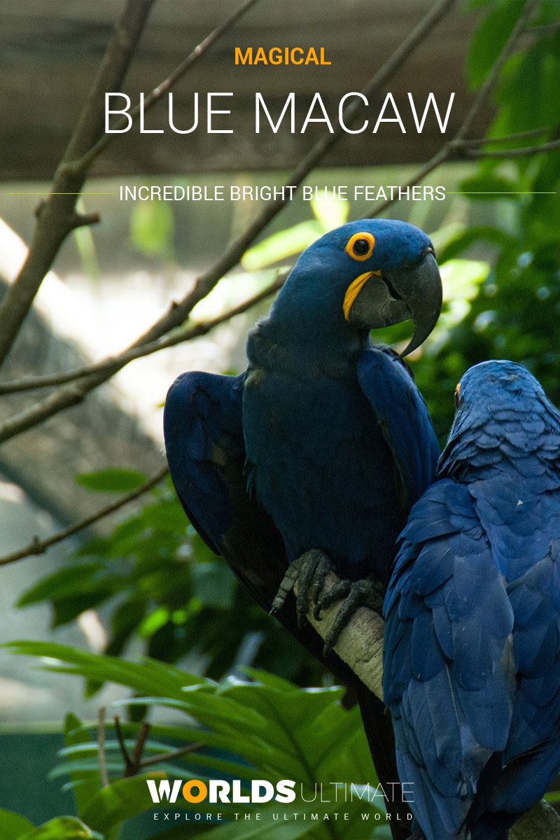 Blue Macaw Facts