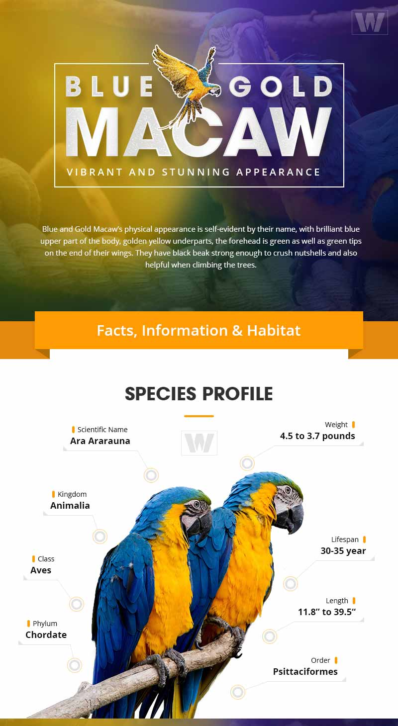 Blue and Gold Macaw Infographic