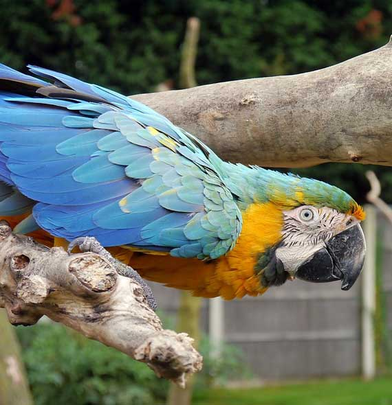Blue and Gold Macaw Potential Problems