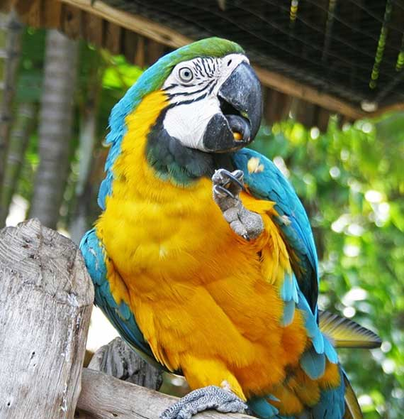 Blue and Gold Macaw Social Behaviour