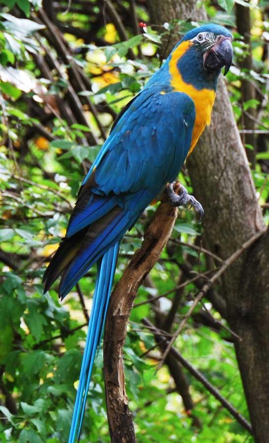 Blue Throated Macaw Ara Glaucogularis