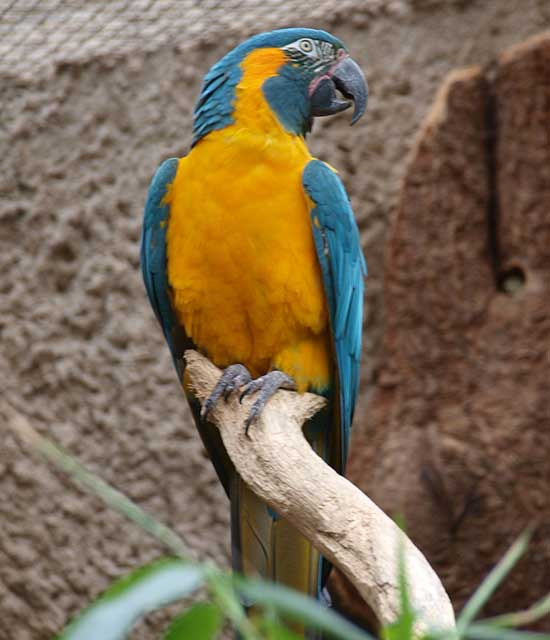Blue Throated Macaw Nesting