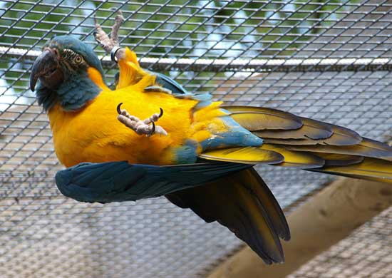 Blue Throated Macaw Status